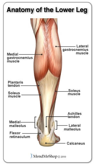 Anatomy of the lower leg
