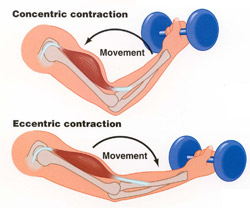 Concentric & Eccentric Contractions