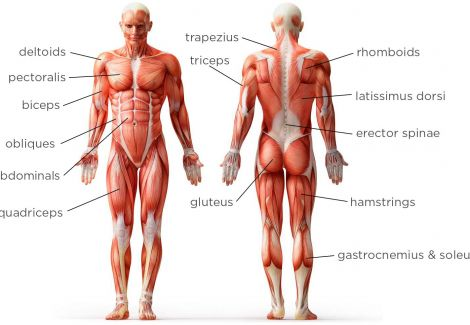 Full body muscles human anatomy mythoughtlane