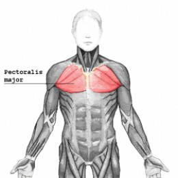 Chest muscle pectoralis