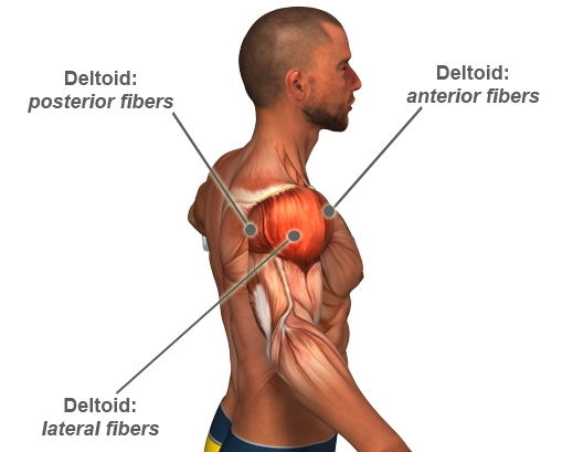 Deltoid Fibers, My Thought Lane