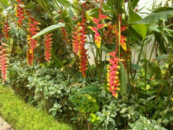 Vibrant Heliconia Torch Gold flowers from India