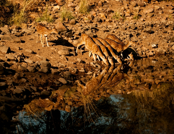 A herd of chitals at the Ranthambore Wildlife Reserve, India