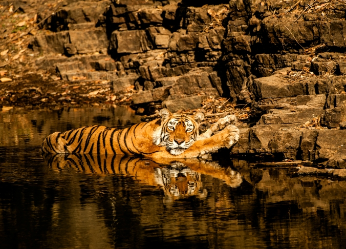 Tigress Machli at Ranthambore Wildlife Reserve, India