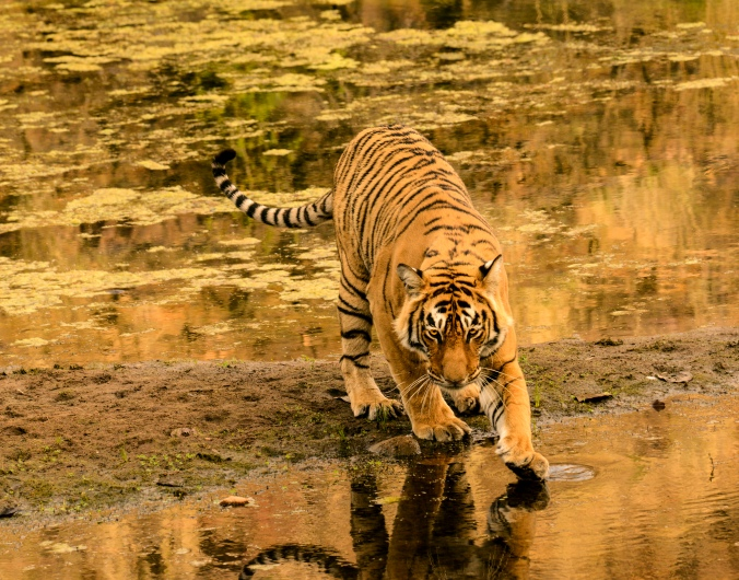 A sub adult tiger at the Ranthambore Wildlife Reserve