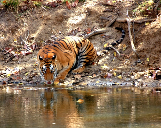The tigress lapping up water at the Ranthambore Wildlife Reserve