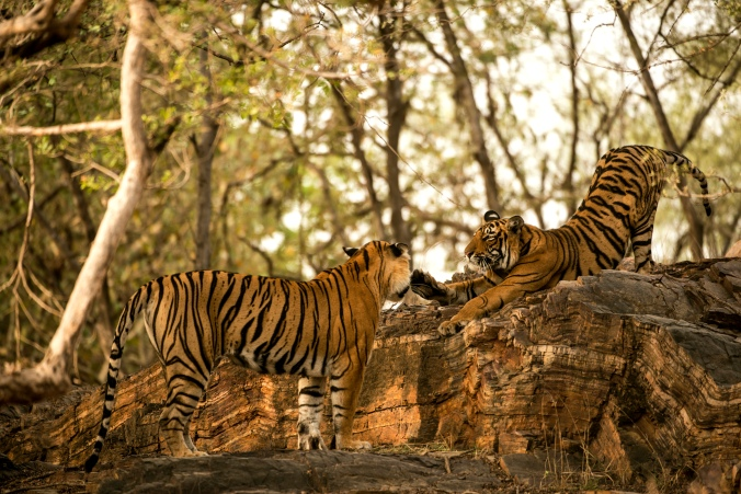 A tigress and her cub at the Ranthambore Wildlife Reserve
