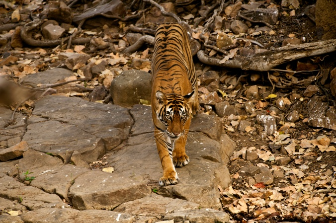 A tigress stalking her prey at bandhavgarh wildlife reserve india