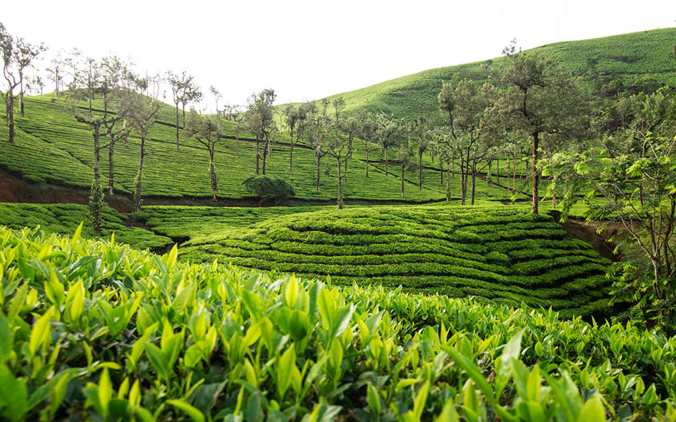 Sample of Nilgiri tea estates